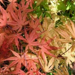 ACER (GIAPPONESE)